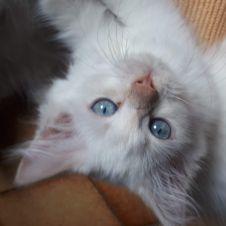cuccioli di gatto siberiano Torino