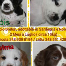 6 cuccioli incrocio breton in regalo Torino