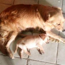 Cucciolata Golden Retriver-Labrador Retriver Torino