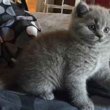 BRITISH SHORTHAIR con PEDIGREE Torino