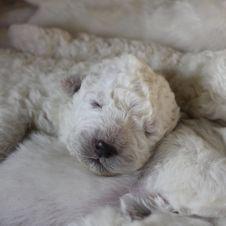 cuccioli di pastore maremmano abruzzese con pedegree Torino
