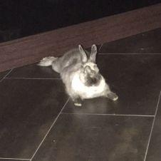 regalo bellissima coniglietta nana Torino
