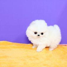 Annunci animali regalo cerco e vendo cucciolo cane gatto for Cane volpino nano