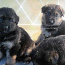 cuccioli di pastore tedesco Torino