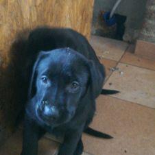 Cuccioli maschi di Labrador Retriver con pedigree ENCI Torino