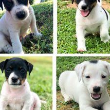 Cuccioli di Jack Russell Terrier  Torino
