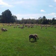 Agnelli - pecore - montoni - becchi Torino