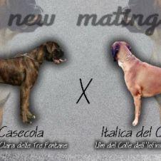Vendesi cuccioli di boxer alta genealogia Verbano-Cusio-Ossola