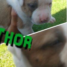 Cucciolata di American Staffordshire terrier Vercelli