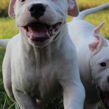 Cucciole di Dogo Argentino  Vercelli