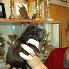 Splendidi cuccioli di Alano Nero Novara