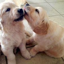 Cuccioli di Golden Retriver con pedigree Novara