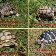 tartarughe di terra varie specie Novara