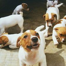 dispone subito o su prenotazione BELLISSIMI CUCCIOLI.Jack Russell Terrier Novara