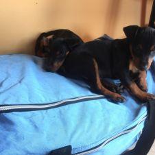 Cuccioli Pinscher nano con pedigree Cuneo