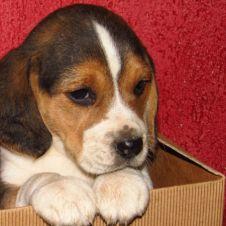 vendo cuccioli di beagle Cuneo