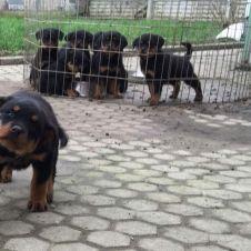 Cuccioli di Rottweiler Asti