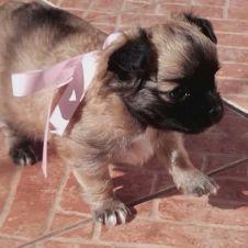Chihuahua con pedigree Alessandria