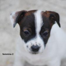 Cucciola di Jack Russell Terrier Alta Genealogia Alessandria