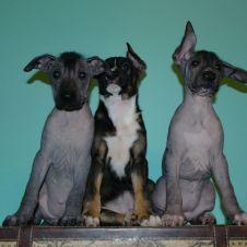 Cuccioli di cane nudo messicano (Xoloitzcuintle) Alessandria