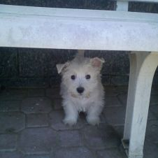 west highland white terrier Alessandria