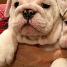 Bulldog inglese cucciola Biella