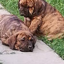 Cuccioli di fila brasilero  Biella