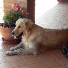 Cuccioli Golden Retriever con pedigree Perugia