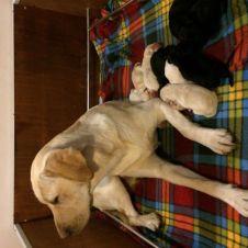 Cuccioli di Labrador Retriever Perugia