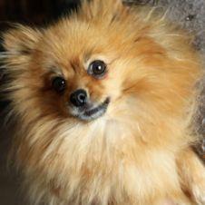 Annunci animali regalo cerco e vendo cucciolo cane gatto for Volpino pomerania nano