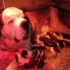 Vendo cuccioli di San bernardo Terni
