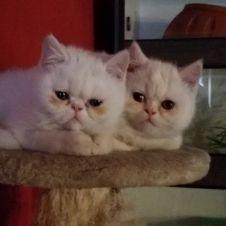 Gatto persiano Terni