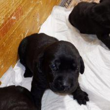 disponibili cuccioli di labrador Fermo