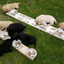 Cuccioli di Labrador Pesaro Urbino