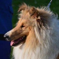 cuccioli di pastore scozzese fulvo carbonati Ancona