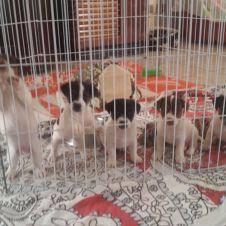 cuccioli di jack russel Macerata