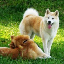 Cuccioli di Akita Inu Macerata