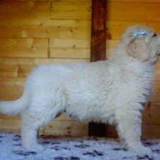 golden retriever cuccioli RM pedigree ENCI Rieti