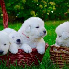 Cuccioli di Pastore Maremmano Abruzzese Rieti