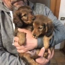 cuccioli bassotto tedesco a pelo lungo Roma