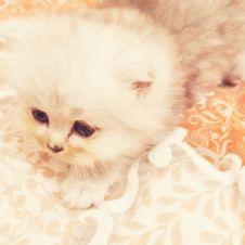 Cuccioli di gatto persiano chinchillà silver Roma