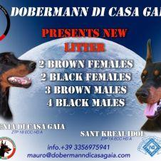 Dobermann cuccioli Roma