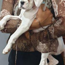 Dolcissima cucciola di boxer Roma