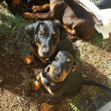 Cuccioli di Dobermann Roma