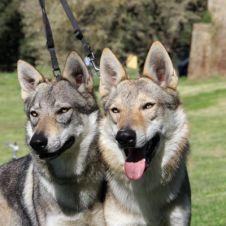 cuccioli cane lupo cecoslovacco  Roma