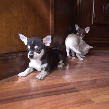 Strepitosi Cuccioli di Chihuahua  Roma
