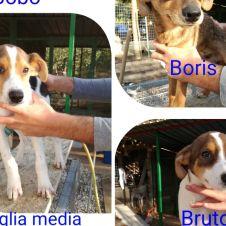 Mix beagle cuccioli Roma