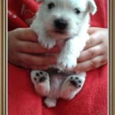 cuccioli west highland white terrier Roma