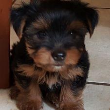 Yorkshire Terrier cuccioli Latina