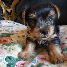 Yorkshire Terrier Femmine Latina